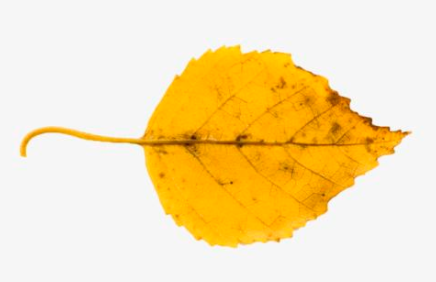 木叶在各地的差异性